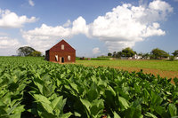 How is Cuban tobacco grown?