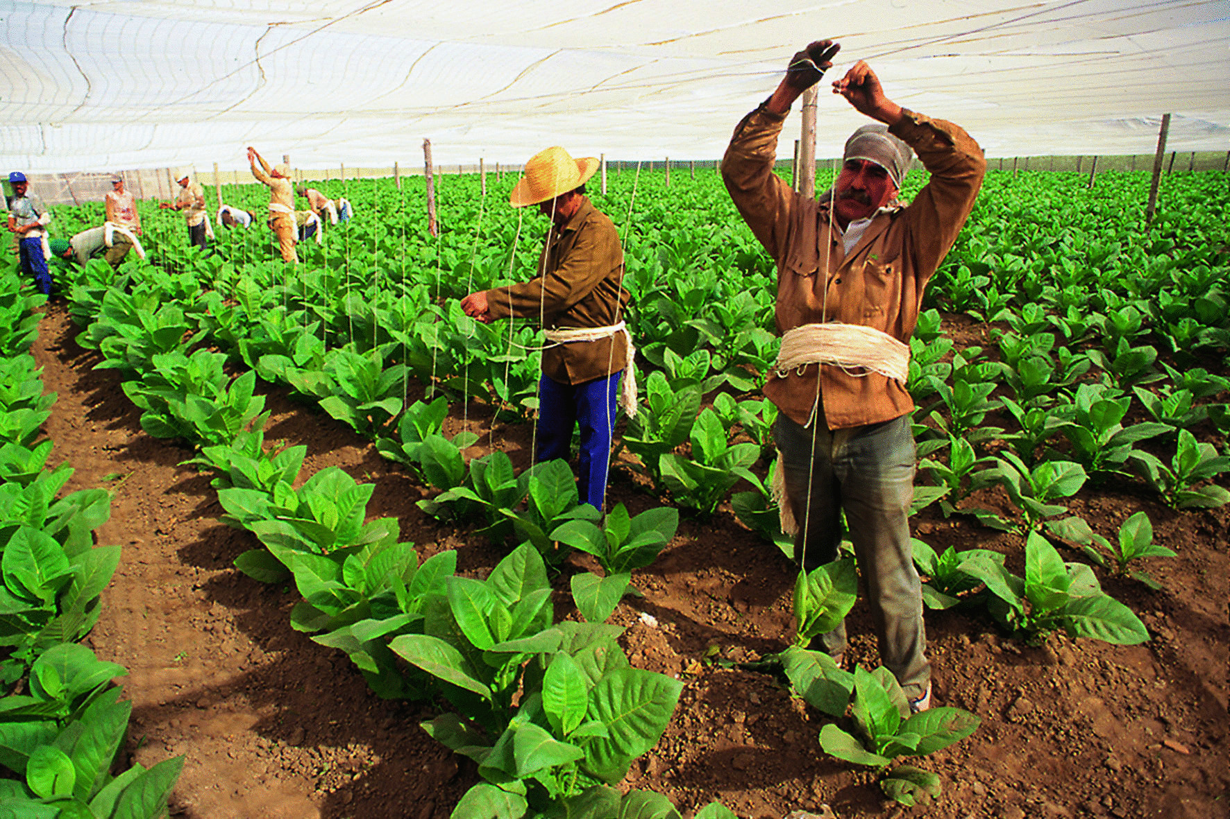 tying the tobacco plants